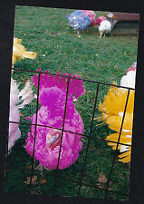 Vintage Photograph Group of Brightly Colored / Dyed Turkeys in Pen