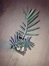 Encephalartos Lehmannii KIRKWOOD Form RECURVED Cycad Ice Blue Cycads Nursery