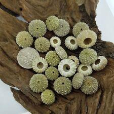 Tiny Australian Sea Urchin - RARE SIZE!! Selling Individually