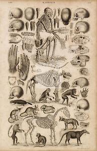 ANTIQUE 1868 Engraving Print of Mammalia - Skulls, Horse, Monkeys, Apes #C864