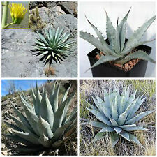 10 graines d'agave deserti var.deserti  ,seed succulents F