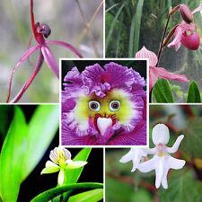 100pcs Rarest Baby Face Orchid Perennial Flower Seeds Professional Pack Garden