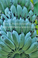 "RARE Musa Banana ""Nam Wa Nuan"" Tropical Succulent Blue Fruit +Free Phyto @@"