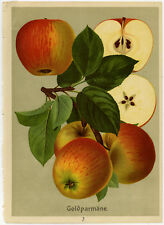 Antique Print-GOLDPARMANE-KINF OF THE PIPPINS-APPLE-3-Bissmann-ca. 1920