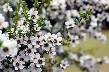 MANUKA TEA TREE SEEDS LEPTOSPERMUM SEED GARDEN FLOWER POT HONEY 500 SEED PACK