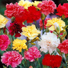 Grenadin Mix - Dianthus Caryophyllus - 250 seeds - Biennial Flower