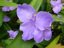 5X TRADESCANTIA VIRGINIA Spiderwort UKgrown Garden Plant Spider Wort Lily