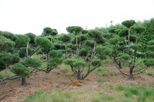 Bergkiefer  Pinus Mugo 175-200cm hoch, 200-250cm breit  70 Jahre alt Formschnitt