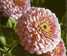 Zinnia- Elegans- Luminosa Pink- 100 Seeds