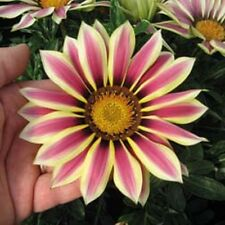 30+ GAZANIA NEW DAY ROSE STRIPE FLOWER SEEDS / DROUGHT TOLERANT RESEEDING ANNUAL