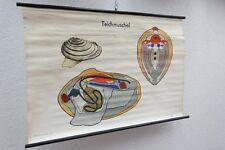 Ancien Grand Moule Lehrtafel Biologi Carte Murale DECO