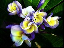 """ROLL DRAGON"" FRAGRANT PLUMERIA CUTTING WITH ROOTED 7-12 INCHES BLOOM THIS YEAR"