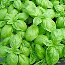 Herb Basil Sweet Genovese - 6000 seeds