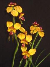 Diuris orientis, Australian deciduous terrestrial orchid species - 3 tubers