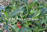 Vietnamese Skinny Green Chilli - Heavy Yielding Chili Variety, Australian Grown!
