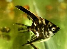 Black Marble Pear scale Angelfish- quarter in size
