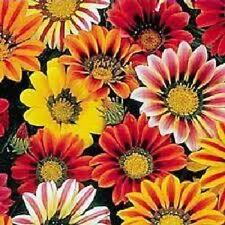 30 Kontiki Stars & Stripes Gazania Mix Treasure Flower Seeds + Gift & Comb S/H