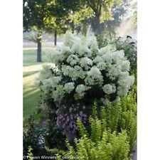 New listing White Flowers 4.5 in. qt. Bobo Hardy Hydrangea Paniculata Live Shrub Full Sun