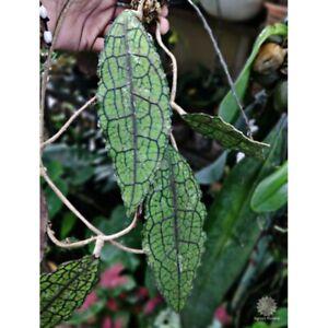 Wholesale 10 Hoya Plants Clemensiorum Free Shipping !!