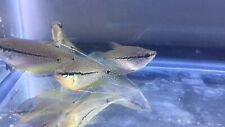 """New listing Pearl Gourami ( One Pair ) 2"""""""