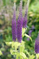 ** Kaukasus-Gamander wunderschön sind die langen, purpurfarbenen Blütenkolben