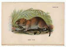 Bank Vole Rodent Original c1896 Chromolithography Print