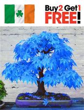 50 Seeds Japanese Rare Blue Maple Tree Bonsai Acer Seeds