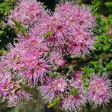 KUNZEA parvifolia Violet Kunzea Seeds (N 185)