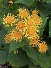 Elecampane INULA Magnifica-perenne VERMUT herb-seed Packet 200 +
