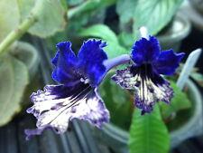 Streptocarpus 'Heartlands Aussie Butterfly'-Af. Violet Kin