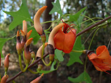 Bat's Wing Coral Tree Seed Native Drought/Frost Hardy Arid to Rainforest Living