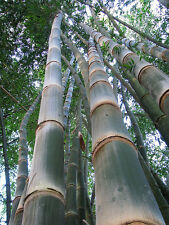 Dendrocalamus asper (Giant bamboo) Extremely Rare -10 Fresh seeds- Fast grower!