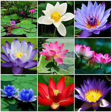 10Pc Bonsai Lotus Water Lily Flower Bowl Pond Fresh Seeds Perfume Blue Lotus NEW