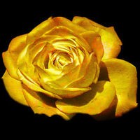 "150Pc Golden Rose Flower Seeds ""Golden Rose""Natural Growth Flower Plant Seed New"