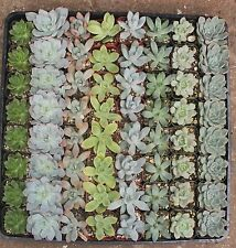 Jiimz 20 PASTEL ROSETTE WEDDING COLLECTION Succulent Plants, Party Favors, Gifts