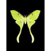 Green Luna Moth Art Print Canvas Premium Wall Decor Poster