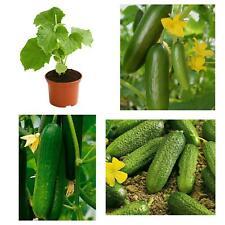 Gurkenpflanzen verschiedene Sorten (teilweise veredelt) - Vorbestellung für Mai