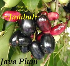 ~Java Plum~ Syzygium cumini Yummy Fruit Tree Live Medium Sz Potd Plant 12-18+in
