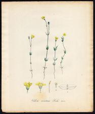 Antique Print-YELLOW WORT-BLACKSTONIA PERFOLIATA-1088-Flora Batava-Sepp-1800