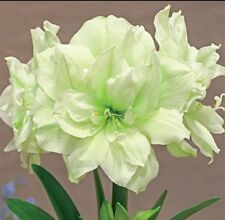 Large Amaryllis MARILYN 26/28 centimeters large  - Will Bloom Spring 2019