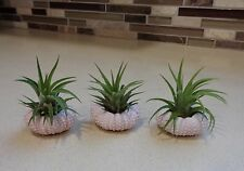 3 Pack Air Plant and Pink Urchin Kit FREE SHIPPING