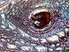 Blue Iguana XL Relief 1oz Ag .999 Silver  Coin $ 2 Niue 2012 ONLY 1000 MINTED