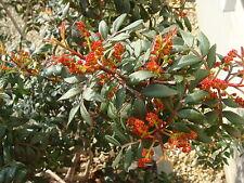 Pistacia Lentiscus (25 Seeds)