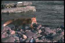 109023 Red Fox Running Beside Snowy River A4 Photo Print