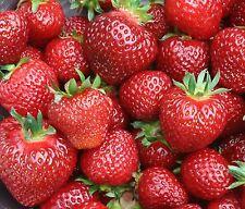 Erdbeerpflanzen Senga Sengana 25 Pflanzen im Topf  € 24,95