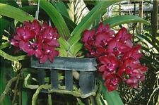ORCHIDEE   RHY.  GIGANTEA   RED   JUNGPFLANZE    D 12-2