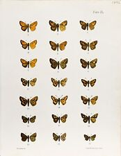 Original Antique Entomology Lithograph – Butterfly Plate (1892)