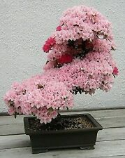 Bonsai seeds -5 seeds Prunus Serrulata Japanese Sakura Flowering Cherry