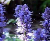 der wunderschöne blaue Anis-Ysop - ein toller Insekten-Magnet !
