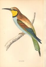 1865 ca - ANTIQUE ORNITHOLOGICAL PRINT- BEE EATER